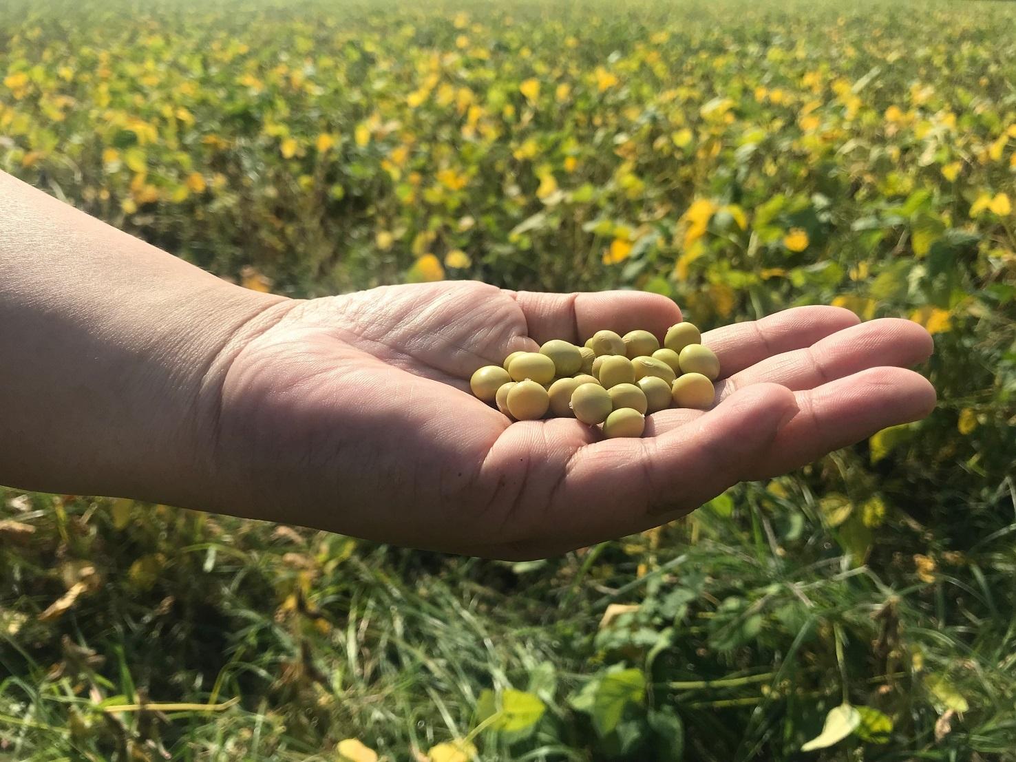 小農特區:粒粒飽滿的高雄九號黃豆